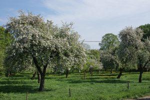 Streuobstwiese im Frühjahr
